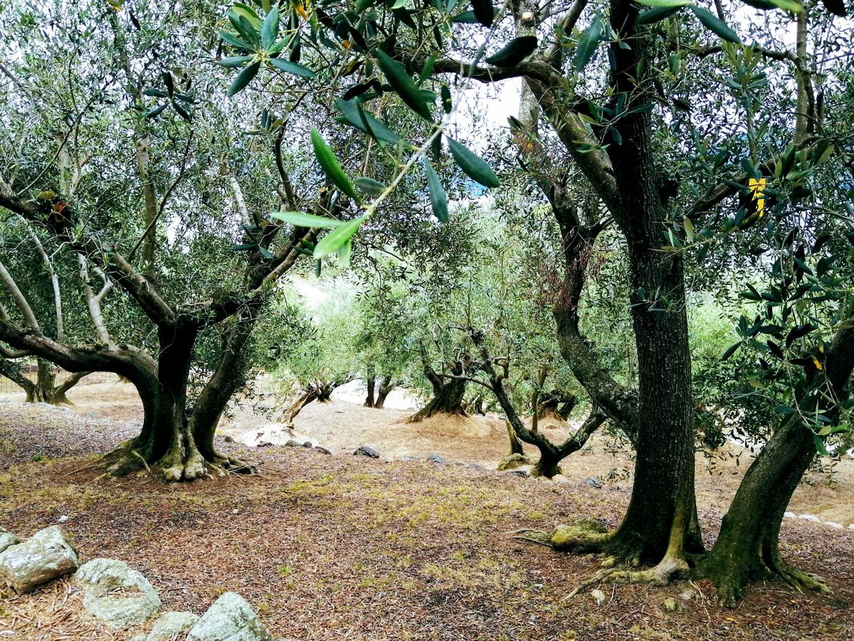 樹齢数十年以上、日本で最も古いオリーブの森
